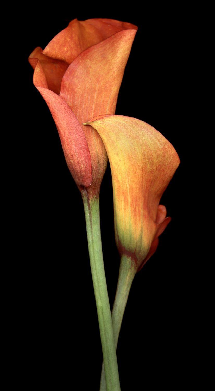 Two Mango Lilies