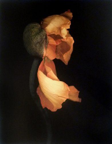 Poppy (Orange and Yellow)