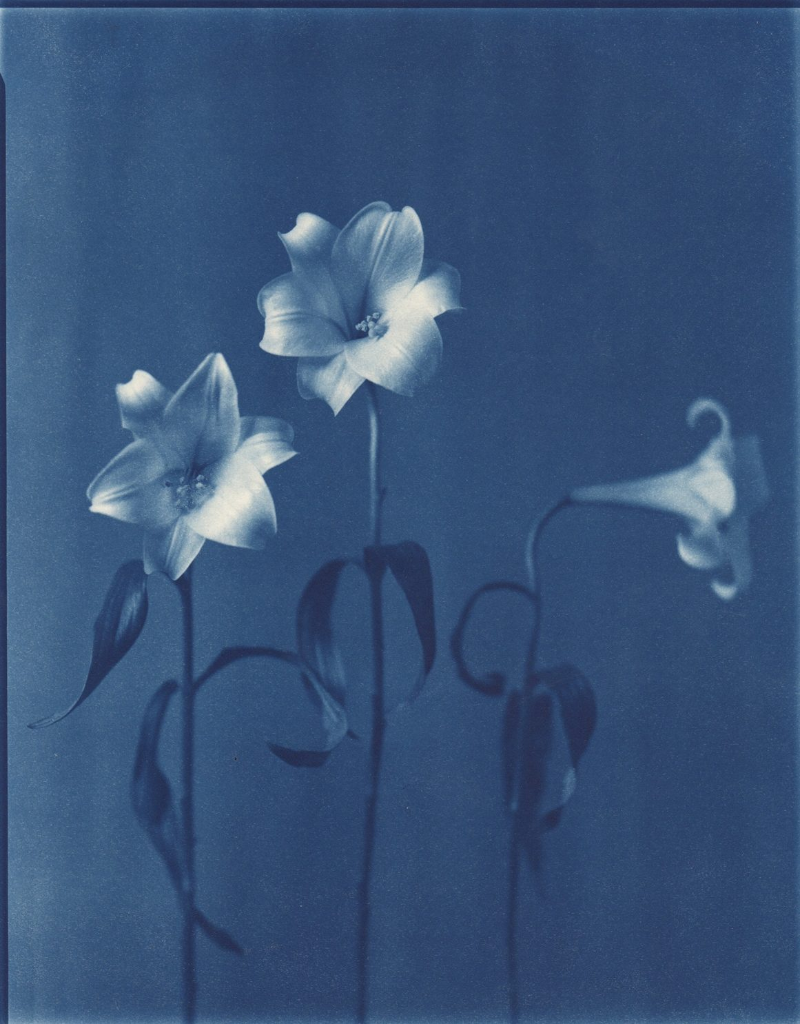 Three Easter Lilies