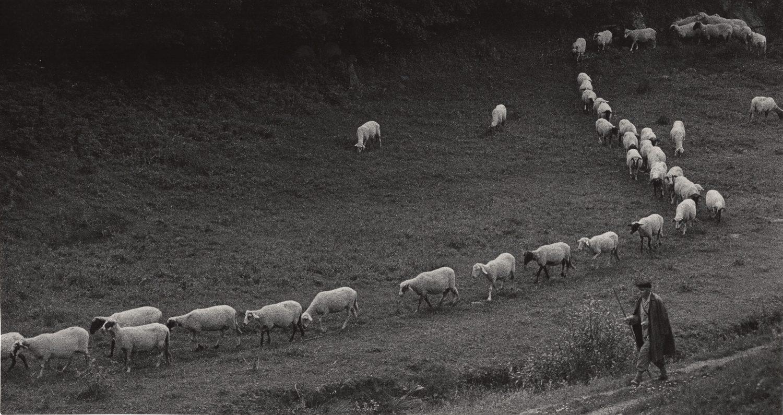 """Shepherd with the Flock in Golden """"S"""", Bulgaria"""