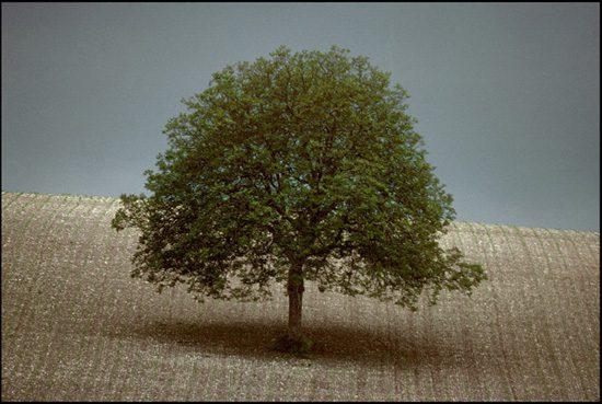 Walnut Tree Dordogne France