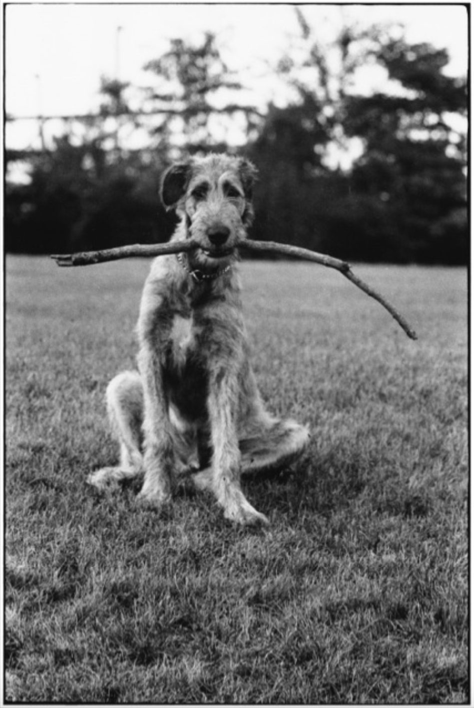 New Jersey, 1971 (dog with stick)