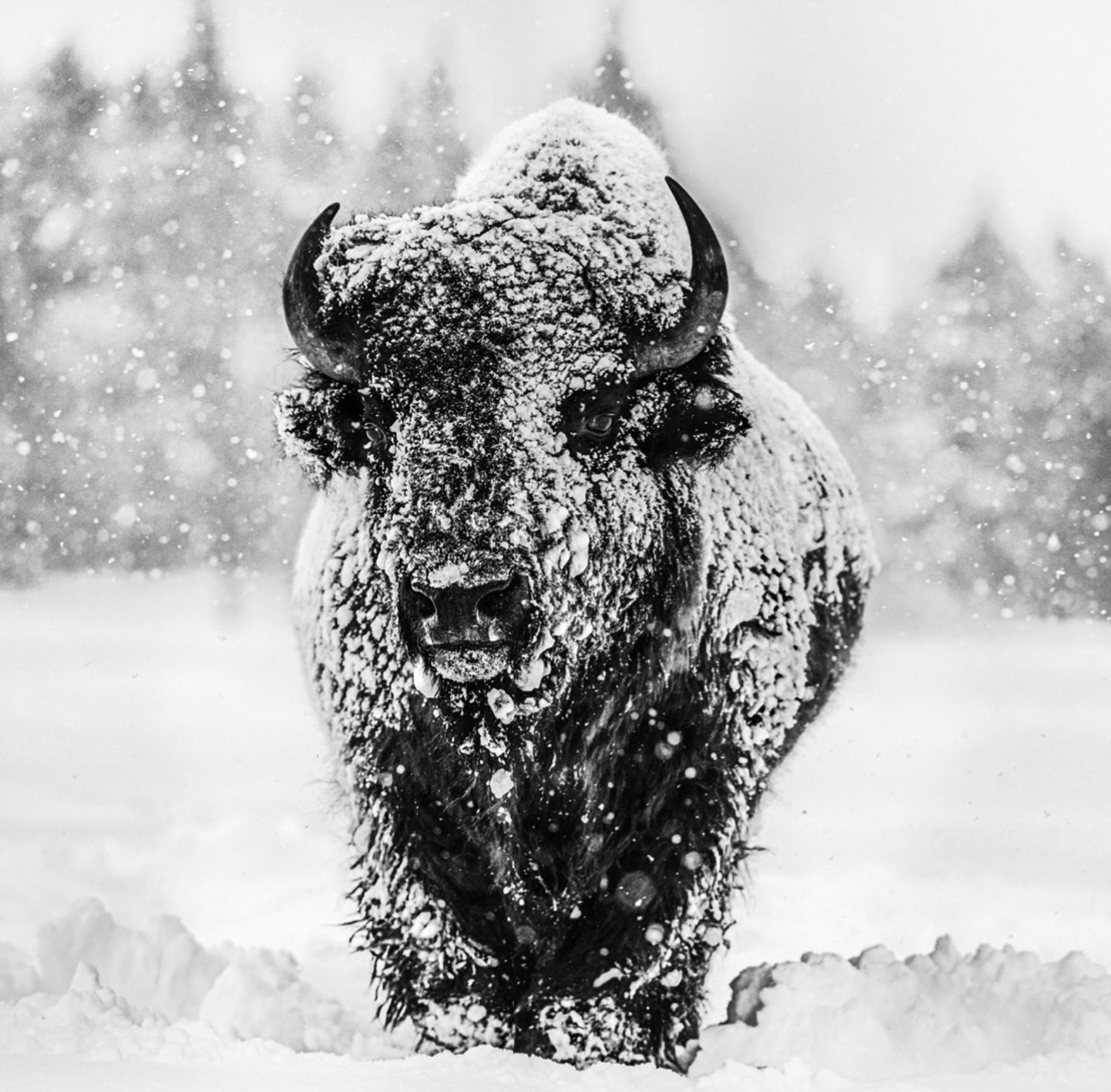 Winter's Coming, Yellowstone National Park, Wyoming, USA