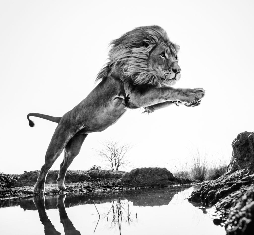 Lion King, Dinokeng, South Africa
