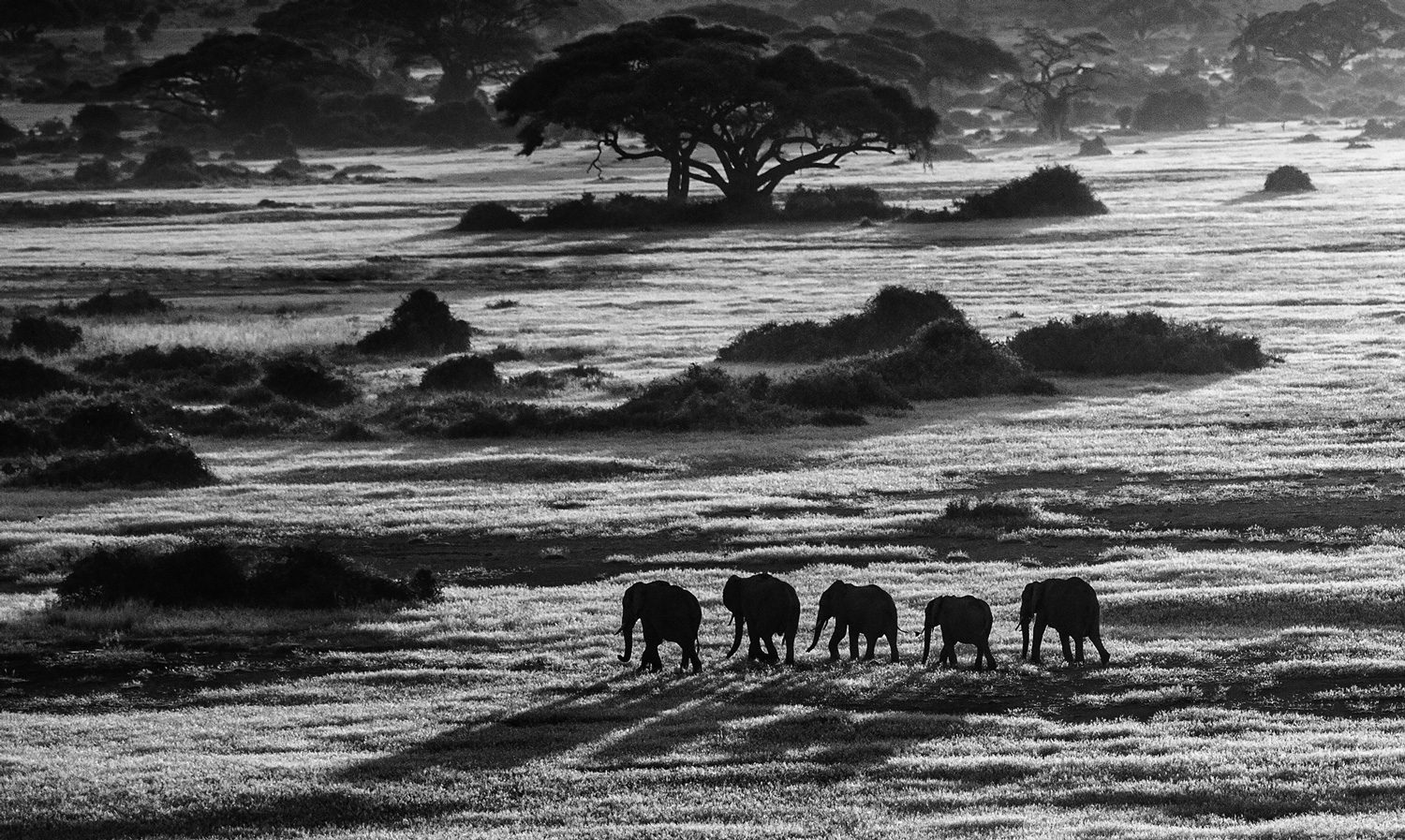 Dawn Commute, Amboseli, Kenya