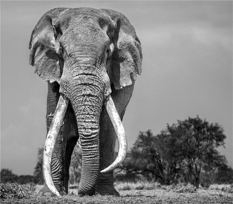 Colossus, Amboseli, Kenya
