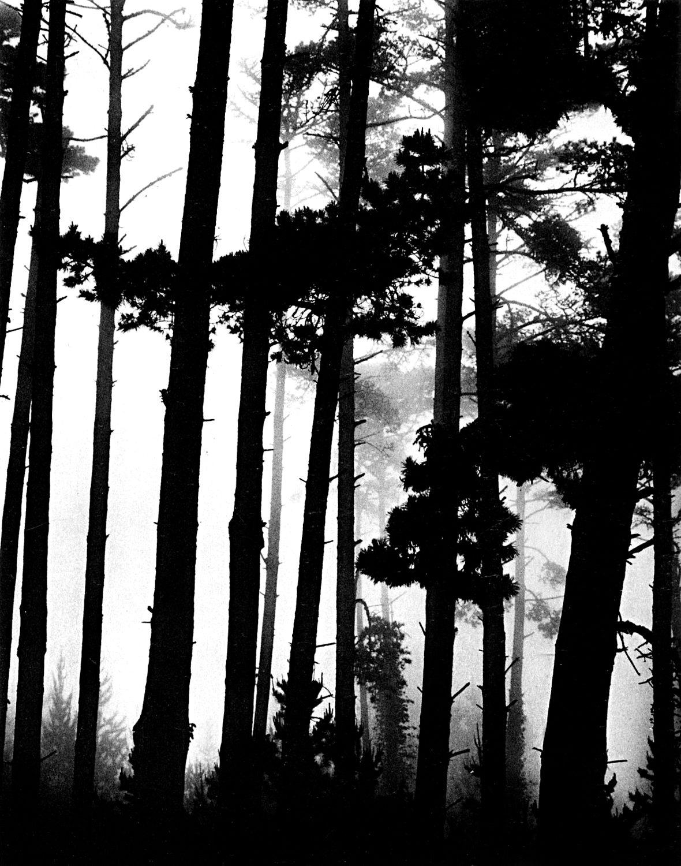 Pines in Fog, Monterey