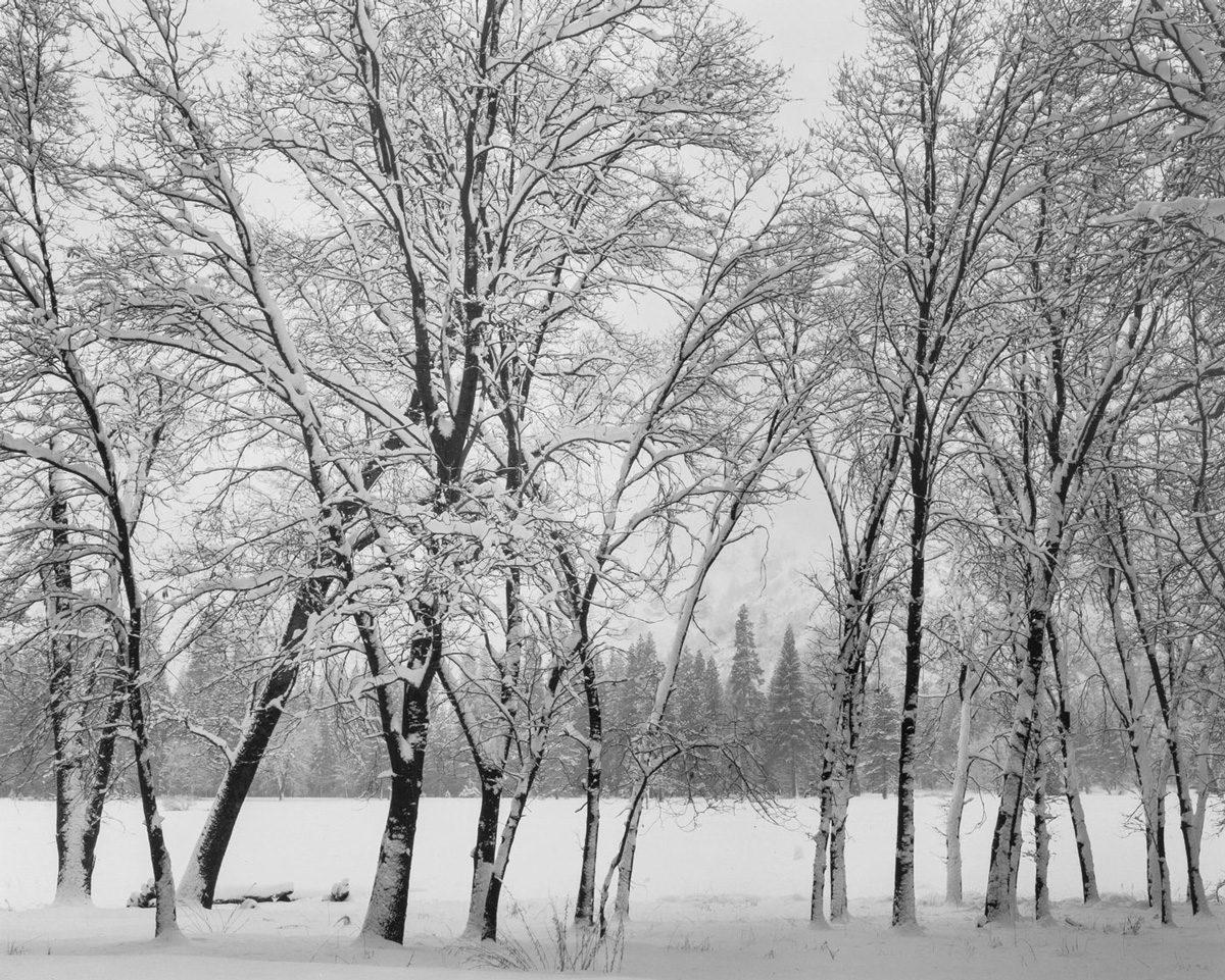 Oak Tree, Winter, Yosemite Valley
