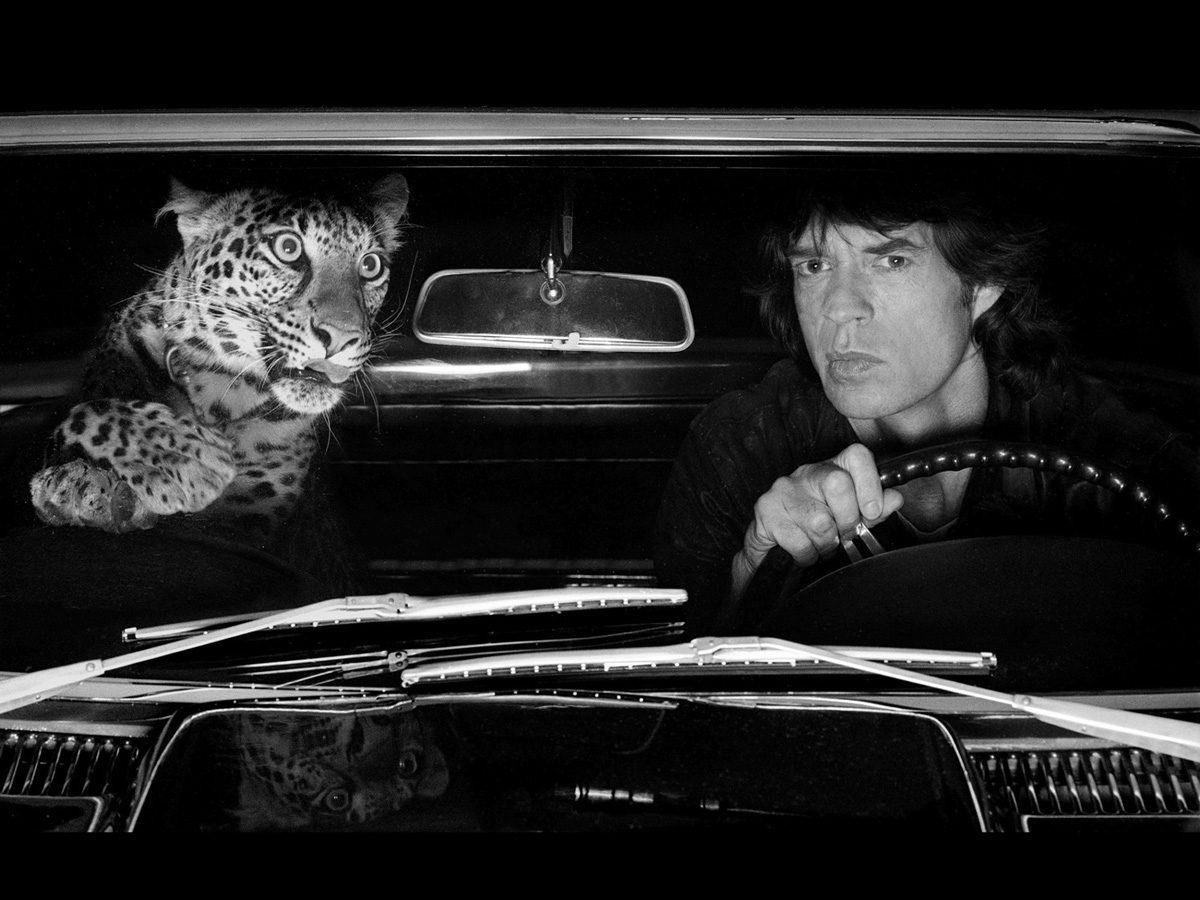 Mick Jagger in Car with Leopard, Los Angeles