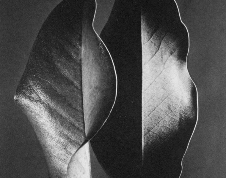 Ruth Bernhard, Two Leaves