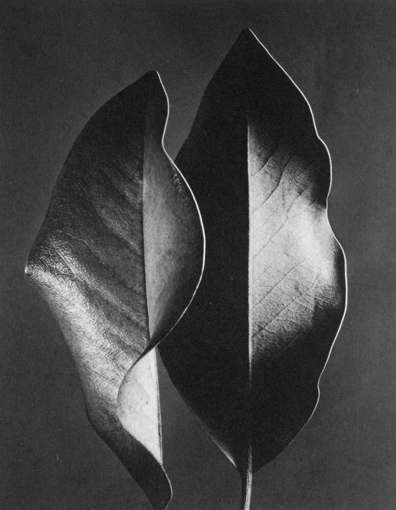 Ruth Bernhard, Two Leaves