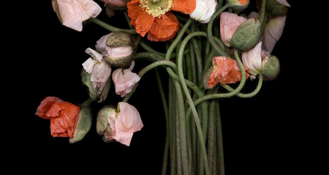 Joyce Tenneson, Poppy Bouquet