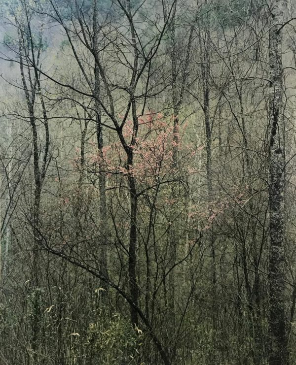 Eliot Porter Redbud trees in bottomland