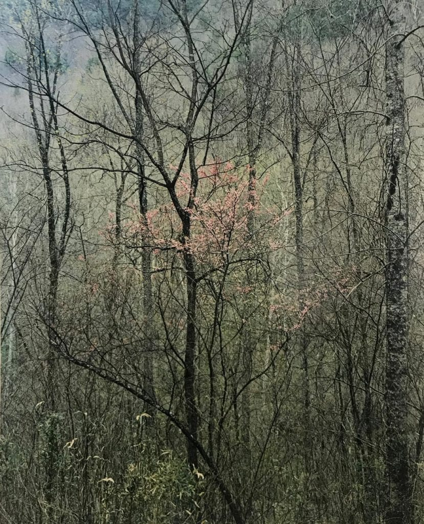Eliot Porter Redbud trees in bottomland