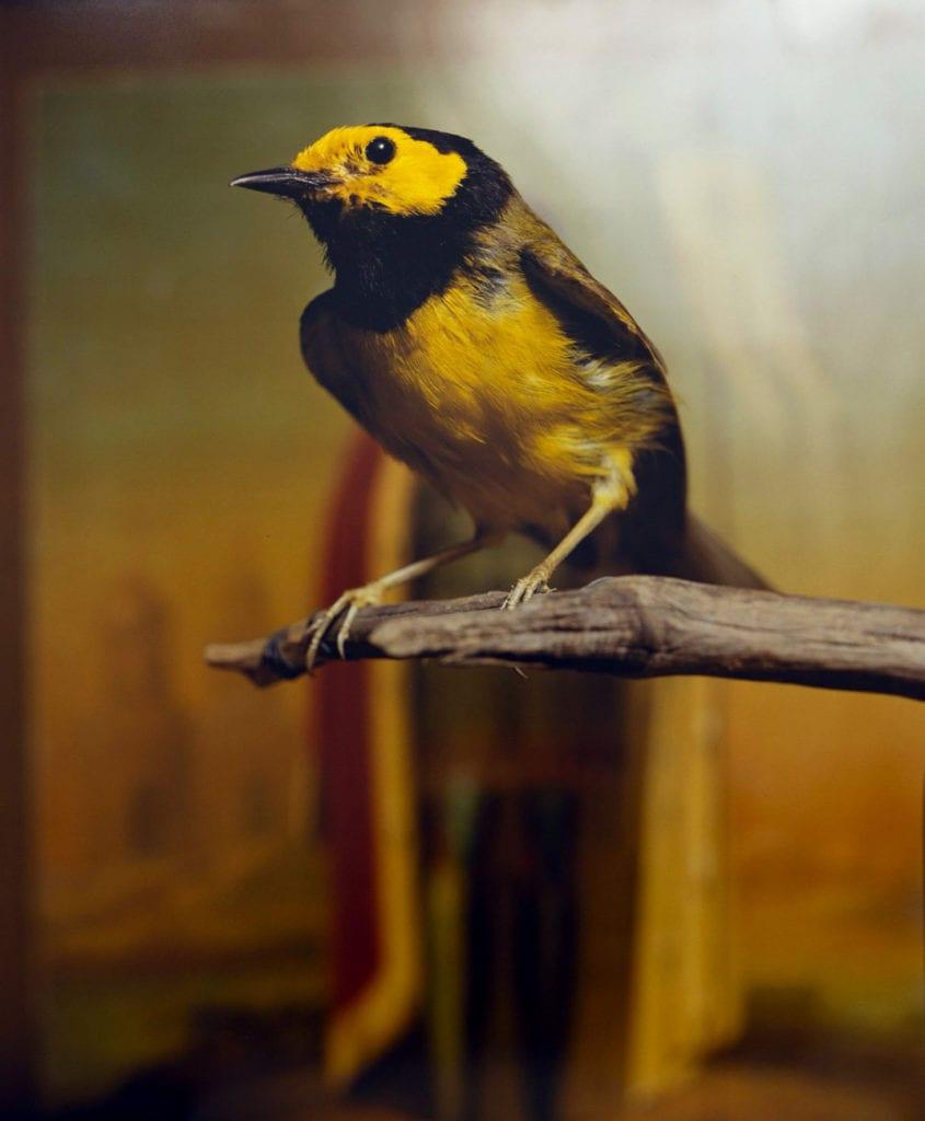 Andres Serrano, Hooded Warbler II