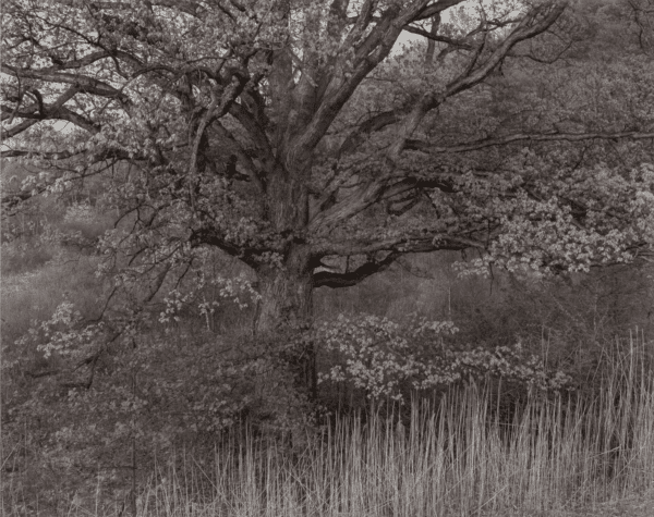 George Tice, Oak Tree, Holmdel, New Jersey