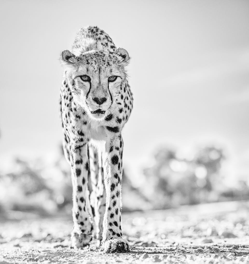 David Yarrow, Hot Legs 2