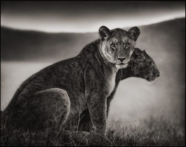 Nick Brandt, Sitting Lionesses, Serengeti