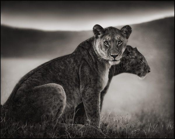 Nick Brandt, Sitting Lionesses, Serengeti