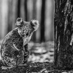 David Yarrow, Survivor, Kangaroo Island, Australia, 2020