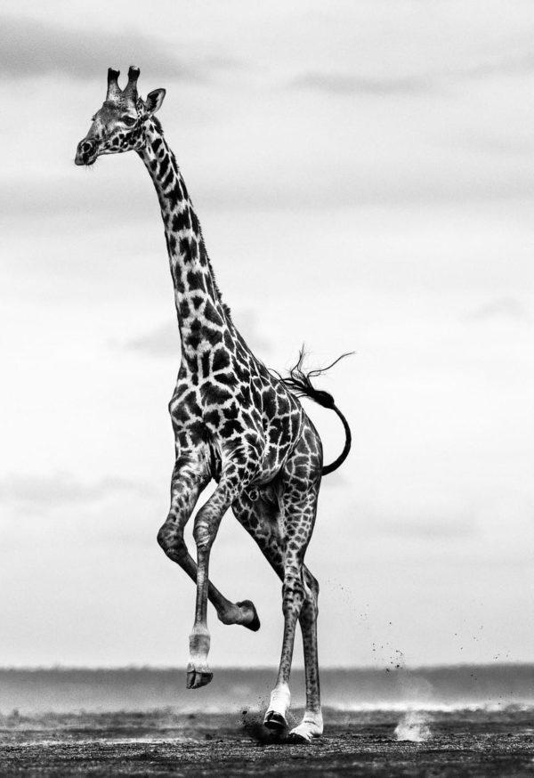 David Yarrow, Hoof It, Amboseli, Kenya