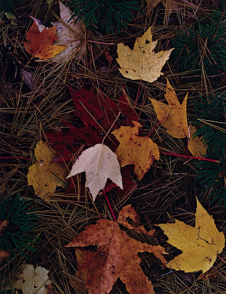 Eliot Porter, Maple leaves and pine needles. Tamworth, New Hampshire, October 3, 1956