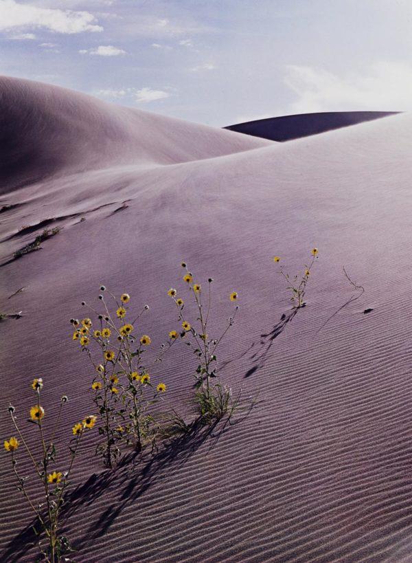 Eliot Porter, Sunflower And Sand Dune. Colorado, 1959