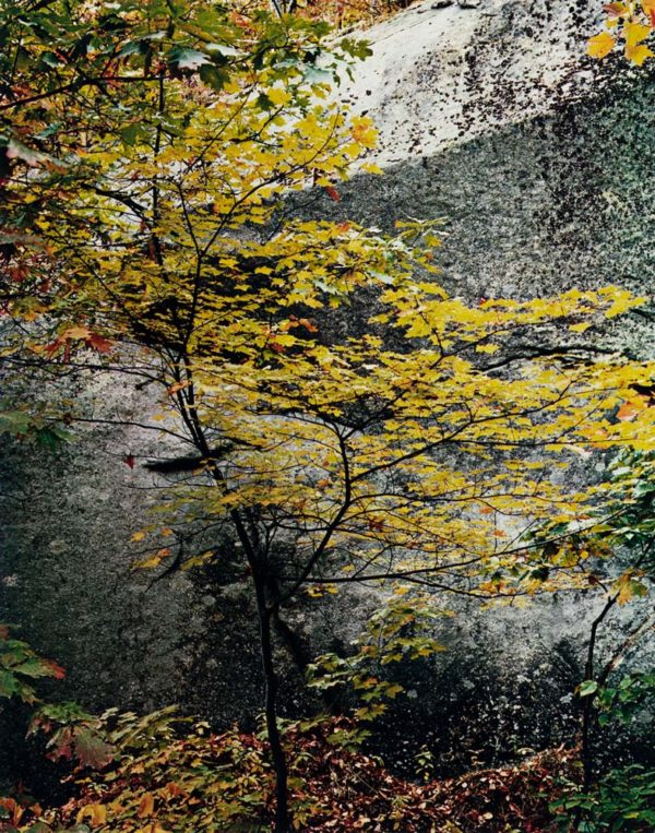 Eliot Porter, Maple Sapling And Rock. Passaconaway, New Hampshire, 1953