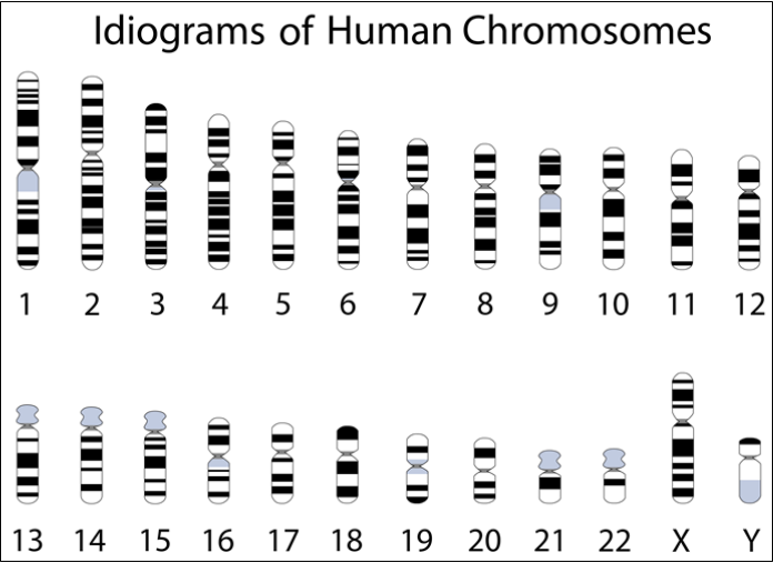 The image shows the idiograms depicts the human chromosomes 1 through 22 decreasing in size and X and Y on bottom right with X being bigger then Y.