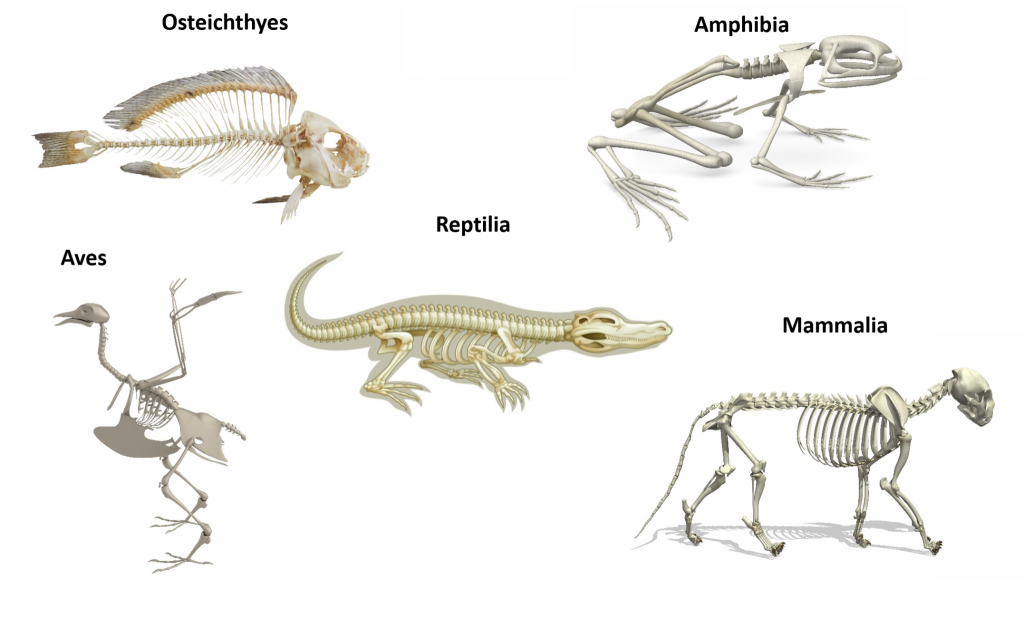 Five skeleton diagrams titled as follows: a fish titled Osteichthyes, a frog titled Amphibia, an alligator titled Reptilia, a bird titled Aves, and a cat titled Mammalia.