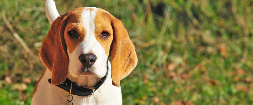 Image of Beagle