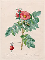 "Chapuy: Kamtschatka Rose (Rosa Kamtschatica), from Redouté, "" Les Roses"", Paris, 1817–1824)"