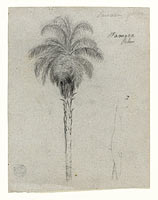 Botanical Sketch Showing Two Views of the Tamaca Palm