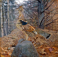 Gerald Thayer: Male Ruffed Grouse in the Forest