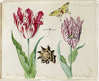 Two Tulips, a Shell, a Butterfly and a Dragonfly, Jacob Marrel