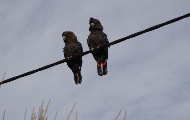 BoligBytte til,Australia,PENNESHAW,Rare glossy-black cockatoos gather at sunset