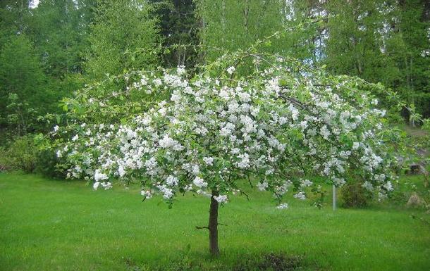 BoligBytte til,Finland,Tervakoski,Apple tree