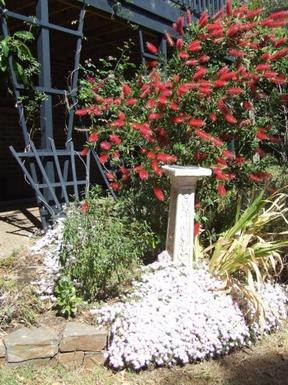 BoligBytte til,Australia,LYNTON,Bottlebrush in spring bloom in front garden
