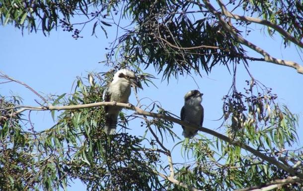 BoligBytte til,Australia,LYNTON,Kookaburras in the gum trees in the front garden