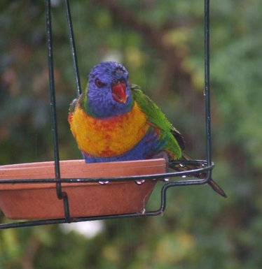Home exchange in,Australia,LYNTON,Lorikeet in the bird feeder on the northern deck