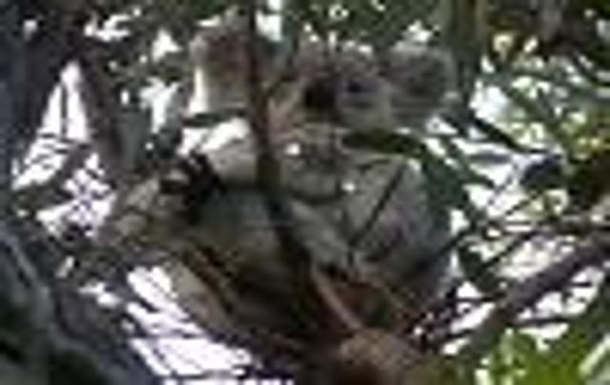 BoligBytte til,Australia,TOWNSVILLE,Koala in tree beside Fort Track on Magnetic Island