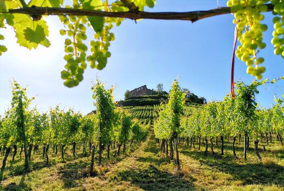 Staufen - through the vineyard to the castle