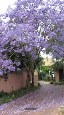 Home exchange in,Australia,South Coogee,Cul-de-sac with jacaranda trees in bloom.
