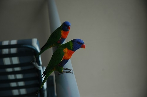 Home exchange in,Australia,NELLY BAY,Regular visitors on balcony