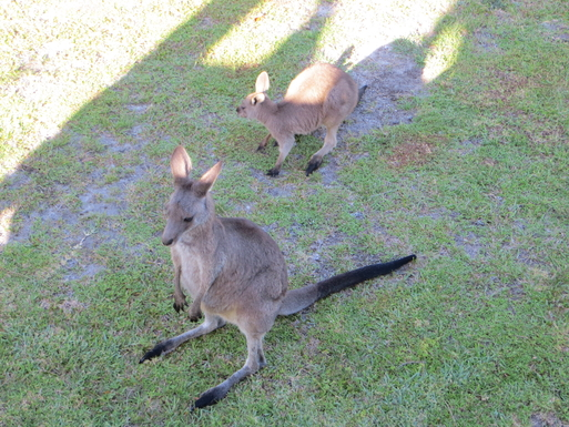 Home exchange in,Australia,SUSSEX INLET,Kangaroos on back lawn - photo from the deck