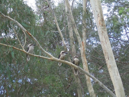 Home exchange in,Australia,COOROIBAH,Kookaburras in our garden, native birds to Austral