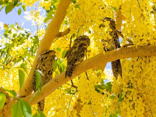 Home exchange in,Australia,WOODGATE,Tawny Frogmouths in front garden