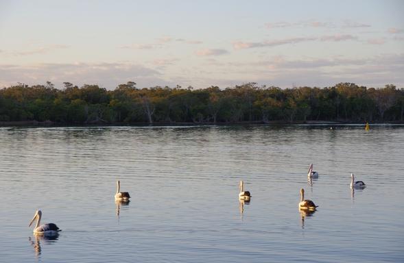 Home exchange in,Australia,Noosaville,Pelicans on the river