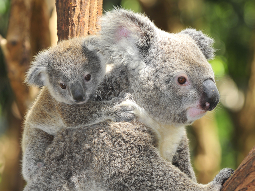 Home exchange in,Australia,Kingscliff,Tweed Coast Koalas