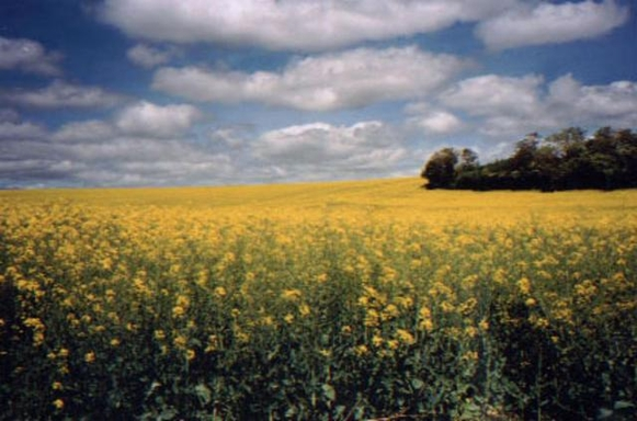 BoligBytte til,France,Palluau sur Indre,Rapeseed field near village